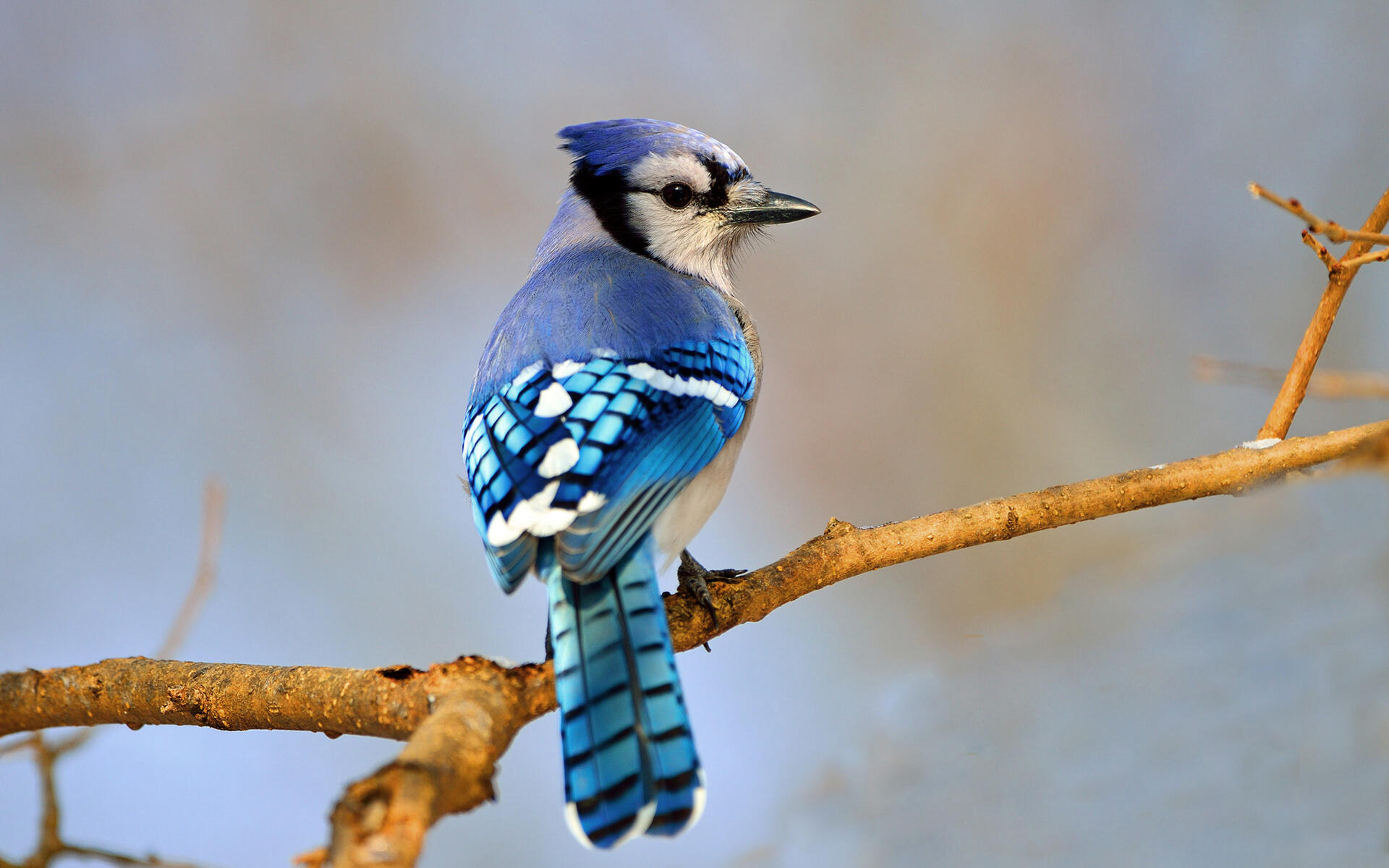 Blue jay audubon field guide Pictures of birds